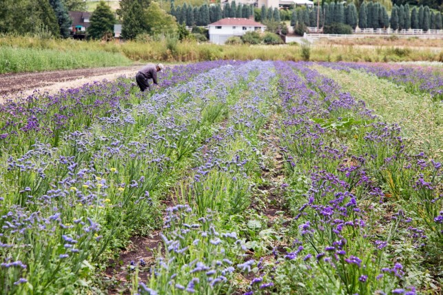 Sammamish Valley Lavender Fields
